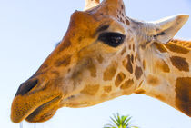 Giraffe eye balling you. von Brian  Leng