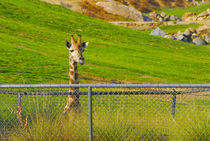 Giraffe looking over fence by Brian  Leng
