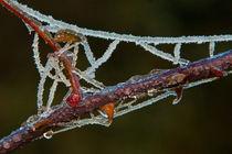 Frozen thorns von Danislav Mironov