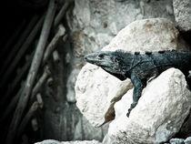 Ek Balam's Iguana von Noe Casas