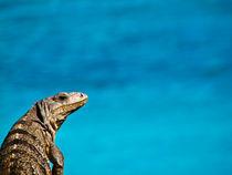 Tulum's Iguana von Noe Casas
