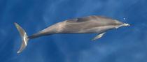 Maldives Dolphins 1 von Kai Kasprzyk