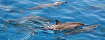 Maldives Dolphins 5 von Kai Kasprzyk