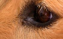 Derby-eye-2