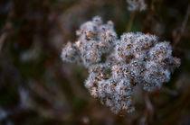 Fluffy White Flowers von Joel Gafford