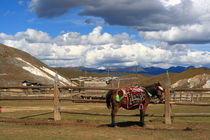 Meadow & Mule (Shangeri-La, YunNan, China) by ShuiZhou He