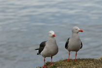 Patagonia seagulls by mariana clotta
