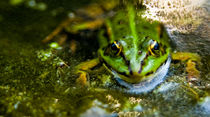 Frosch by Jens Berger