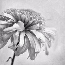 dainty daisy by Priska  Wettstein