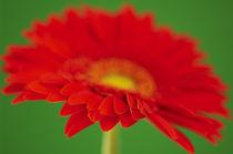 Red Gerbera von Craig Joiner