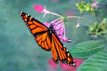 Monarch Butterfly on pink flower by Betty LaRue