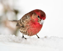 Male House Finch in the Snow by Betty LaRue