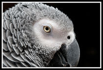 African Gray Parrot by Betty LaRue