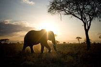 Elephant Sunset by Yvonne Hamilton