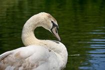 Swan by Yvonne Hamilton