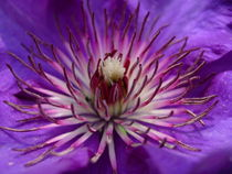 Clematis 1 by Katy Haecker