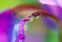 Water Drop Iris  by Kellen Witschen