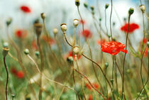 Poppies von Diana Costea