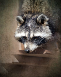 Raccoon 3 von Betty LaRue