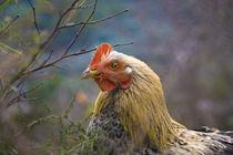 Nur ein Huhn by pahit