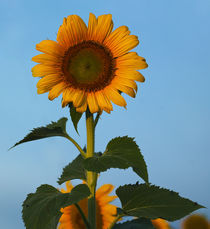 Sunflower Portraits #1 von photography-by-odille