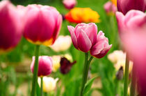Beautiful spring tulips von Tanja Krstevska