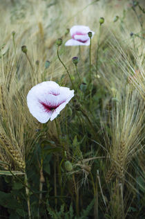 Poppy von mohnblumen