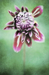 Dahlia Flower 3 von Neil Overy
