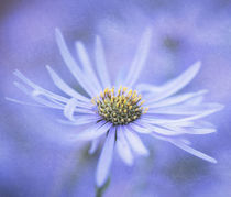 Purple Aster by Neil Overy