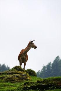 Hirschkuh in den Alpen von Wolfgang Dufner