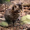 Wildcat-kitten-img-0231