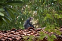 Vervet Monkey by safaribears