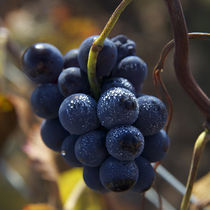 Pinot Noir by Nathalie Knovl