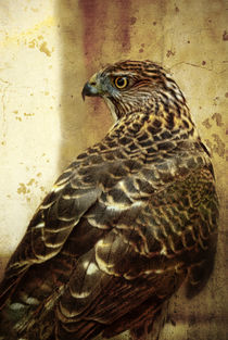 Bird of Prey, Cooper's Hawk (Accipiter cooperii) by Eye in Hand Gallery