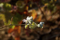 Small vine leaves by Nathalie Knovl