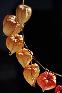 Physalis 1 by Almut Rother