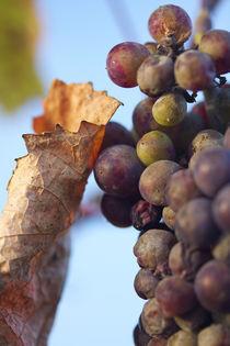 Last grapes by Nathalie Knovl