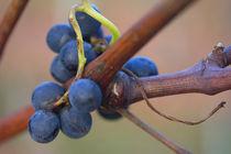 Small grapes by Nathalie Knovl