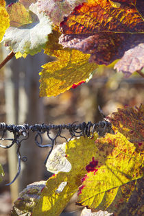 Autumn tendrils by Nathalie Knovl