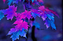 Maple Leaves in Purple and Blue by Betty LaRue