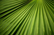 PALM LEAF by Brian  Leng