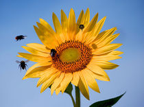 Sunflower and four bees von Joanna Urwin
