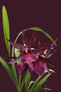 Orchidee-Miltassia Royal Robe-orchid von monarch