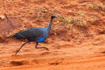Turbo-charged Guineafowl by safaribears
