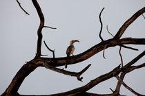 Hornbill by safaribears