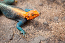 Rock Agama by safaribears