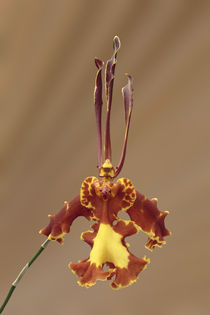 Schmetterlingsorchidee - butterfly orchid  von monarch