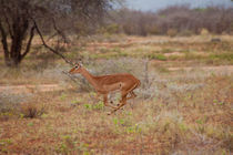 Impala jumping away by safaribears