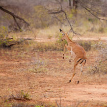 Jumping Impala by safaribears