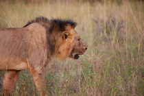 Tsavo Lion by safaribears